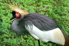 Free East African Crowned Crane Balearica Regulorum Gibbericeps Stock Photo - 103216090