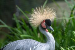 Close up of East African crowned crane Balearica regulorum gibbericeps. East African crowned crane Balearica regulorum gibbericeps, also known as the crested stock image