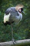 East African crowned crane (Balearica regulorum gibbericeps) Stock Images