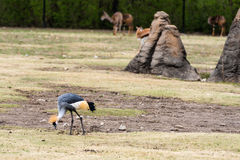 East African Crowned Crane Eating Stock Images