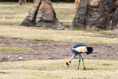 East African Crowned Crane Eating Royalty Free Stock Photos