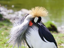 East African Crowned Crane has found something in his plumage Royalty Free Stock Photos