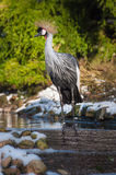 East African crowned crane. The East African crowned crane in winter conditions in a dutch zoo Royalty Free Stock Images