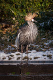 East African crowned crane. The East African crowned crane in winter conditions in a dutch zoo Royalty Free Stock Photography