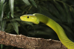 East African Green Mamba Royalty Free Stock Images