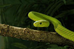 East African Green Mamba Royalty Free Stock Photos