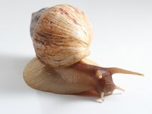 East African land snail Stock Photography