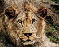 East African Lion. The closeup portrait of young East African Lion Royalty Free Stock Photo