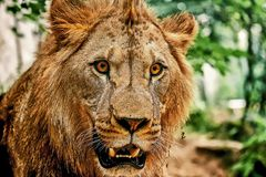 East African Lion Stock Photos