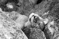 East African lion cub Panthera leo melanochaita sleeping. East African lion cubs and lioness Panthera leo melanochaita, species in the family Felidae and a royalty free stock images