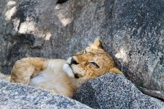 East African lion cub Panthera leo melanochaita sleeping. East African lion cubs and lioness Panthera leo melanochaita, species in the family Felidae and a stock image