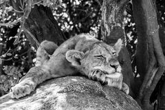 East African lion cub Panthera leo melanochaita sleeping. East African lion cubs and lioness Panthera leo melanochaita, species in the family Felidae and a stock photography