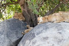 East African lion cub Panthera leo melanochaita sleeping. East African lion cubs and lioness Panthera leo melanochaita, species in the family Felidae and a stock photo