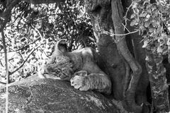 East African lion cub Panthera leo melanochaita sleeping. East African lion cubs Panthera leo melanochaita, species in the family Felidae and a member of the stock photography