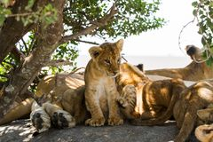 East African lion cubs and lionesses Royalty Free Stock Photography