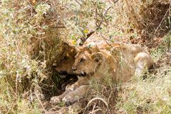 East African lion cubs Panthera leo melanochaita Stock Photos