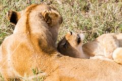 East African lion cubs (Panthera leo melanochaita). East African lioness with lion cubs (Panthera leo melanochaita), species in the family Felidae and a member Stock Photography