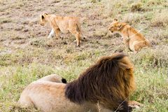 East African lion cubs (Panthera leo melanochaita). East African lion with cubs (Panthera leo melanochaita), species in the family Felidae and a member of the Royalty Free Stock Images
