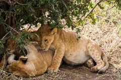 East African lion cubs (Panthera leo melanochaita). Species in the family Felidae and a member of the genus Panthera, listed as vulnerable, in Serengeti Stock Photos