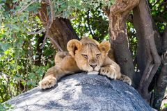 Sleepy East African lion cub on a rock. East African lion cubs Panthera leo, species in the family Felidae and a member of the genus Panthera, listed as Royalty Free Stock Photos