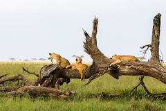 East African lion cubs Panthera leo on a tree trunk stock photo