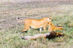 East African lion family (Panthera leo melanochaita). Species in the family Felidae and a member of the genus Panthera, listed as vulnerable, in Serengeti Royalty Free Stock Photo