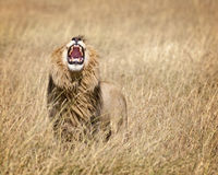 East African Lion. Mature male lion  (Panthera leo nubica) with large mane in Masai Mara National reserve, Kenya, Africa Stock Image