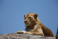 A young male African lion resting on a kopje. The East African lion Panthera leo melanochaita is a lion population in East Africa. In this part of Africa, lions Royalty Free Stock Photos