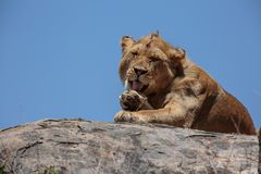 A young male African lion resting on a kopje. The East African lion Panthera leo melanochaita is a lion population in East Africa. In this part of Africa, lions Royalty Free Stock Image