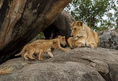 An African lioness on a kopje with her cubs. The East African lion Panthera leo melanochaita is a lion population in East Africa. In this part of Africa, lions royalty free stock photography