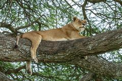 An African lioness resting on an acacia tree. The East African lion Panthera leo melanochaita is a lion population in East Africa. In this part of Africa, lions royalty free stock photos