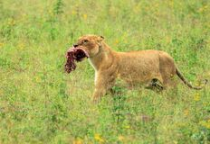 An African lioness taking a piece of a kill. The East African lion Panthera leo melanochaita is a lion population in East Africa. In this part of Africa, lions royalty free stock image