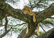 An African lioness resting on an acacia tree stock images