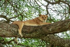 An African lioness resting on an acacia tree stock image