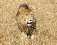 East African Lion (Panthera leo nubica). Mature male lion with developed mane in Masai Mara National reserve, Kenya, Africa Royalty Free Stock Images