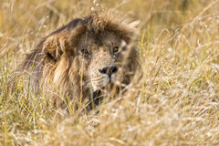 East African Lion (Panthera leo nubica). Mature male lion hiding in long grass of  Masai Mara National Reserve, Kenya, Africa Royalty Free Stock Images