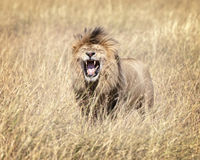 East African Lion (Panthera leo nubica). Mature male lion in Masai Mara National reserve, Kenya, Africa Royalty Free Stock Photo