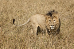 East African Lion (Panthera leo nubica) Stock Photos