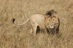 East African Lion (Panthera leo nubica). Mature male lion in Masai Mara National reserve, Kenya, Africa Stock Photos