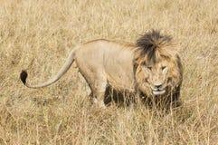 East African Lion (Panthera leo nubica). Mature male lion in Masai Mara National reserve, Kenya, Africa Stock Image