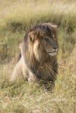 East African Lion (Panthera leo nubica) Stock Photos