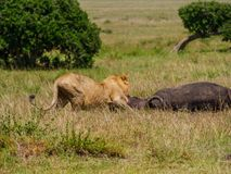 East african lion protecting his cape buffalo prey royalty free stock photos