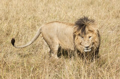 East African Lion (Panthera leo nubica) Stock Image