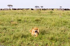 East African lionesses Panthera leo with zebras and wilderbeests Stock Photos