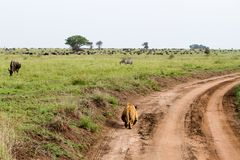 East African lionesses Panthera leo ready for hunting zebras and wilderbeests Stock Photos