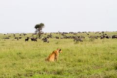 East African lionesses Panthera leo ready for hunting zebras and wilderbeests Royalty Free Stock Images