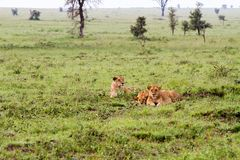 East African lionesses Panthera leo in the grass Stock Photos