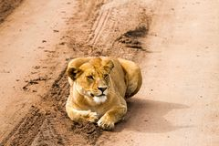 East African lionesses Panthera leo preparing to hunt Royalty Free Stock Images