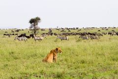 East African lionesses Panthera leo ready for hunting zebras and wilderbeests Stock Image