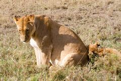 East African lionesses (Panthera leo). Species in the family Felidae and a member of the genus Panthera, listed as vulnerable, in Serengeti National Park Royalty Free Stock Photos